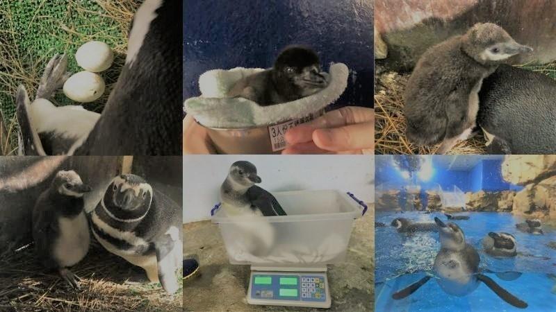 小企鵝健康誕生,名字募集活動開跑!