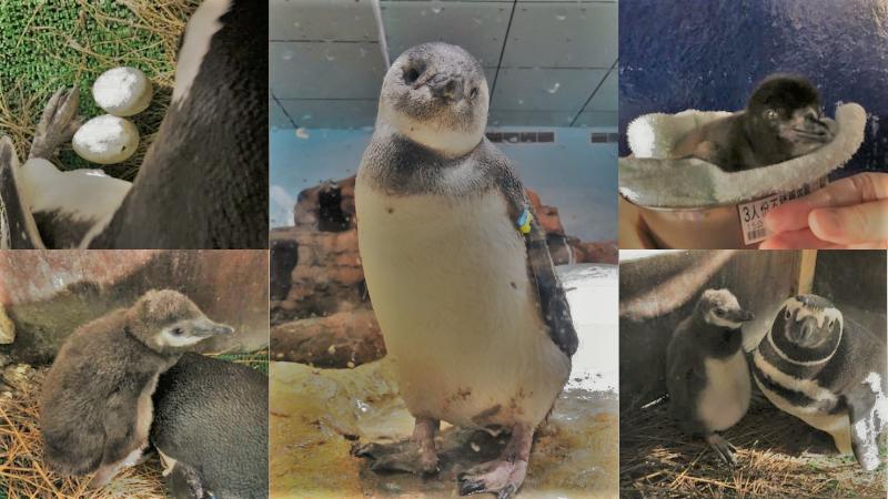 台灣第一隻誕生的麥哲倫企鵝名字公佈!